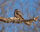northern hawk owl Image0036.jpg
