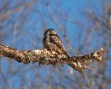 northern hawk owl Image0025.jpg