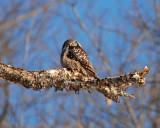northern hawk owl Image0030.jpg
