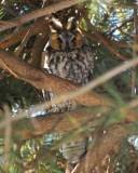 long-eared owl Image0030.jpg