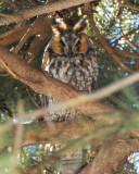 long-eared owl Image0027.jpg