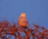 snowy owl Image0080.jpg