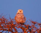 snowy owl Image0074.jpg