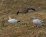 Rosss Snow and Canada goose.jpg