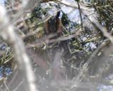 long-eared owl Image0063.jpg