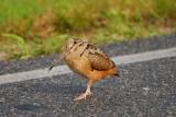 Woodcock Strut