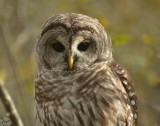 Barred Owl on Plum Island