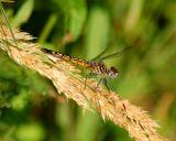 dragonfly 14.jpg