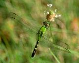 dragonfly 2006_0716Image0003.jpg