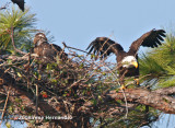 The female eagle works on the nest, too.