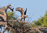 The immature male eagle adds another branch to the nest.