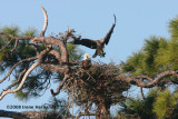 A Better View of the Eagle Nest Pine Tree
