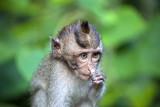 Un singe de Bali
