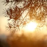 Scots Pine needles
