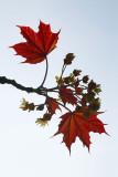 Spring Acer leaves