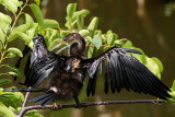 Anhinga with scars from alligator