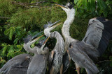 Great blue heron mom with hungry kids