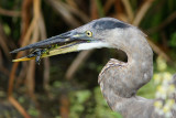 Great blue heron catches a turtle