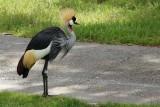 Crane at Kidani