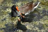 Moorhen feeding chicks