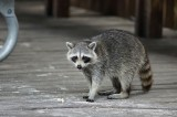 Raccoon at the beach