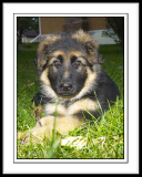 Haarlen - German Shepherd Puppy