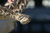 Rattlesnake Roundup, Claxton, Ga.