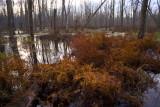 Swamp, Ferns