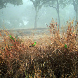 Parrots in the Mist