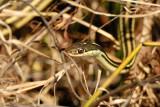 Gulf Coast Ribbon Snake