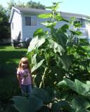 Cailynn sunflower 0449.jpg