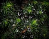 pine rain 6853.jpg