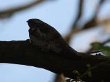 Falknattskärra - Common Nighthawk (Chordeiles minor)