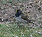 Svarthalsad trast - Black-throated Thrush (Turdus atrogularis)