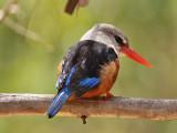 Gråhuvad kungsfiskare - Grey-headed Kingfisher (Halcyon leucocephala)