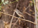 Kapverdesångare - Cape Verde Warbler (Acrocephalus brevipennis)