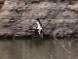 Svarthuvad häger - Black-headed Heron (Ardea melanocephala)