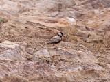 Svartkronad finklärka - Black-crowned Sparrow Lark (Eremopterix nigriceps nigriceps)