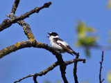 Halsbandsflugsnappare - Collared Flycatcher (Ficedula albicollis)