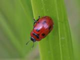 Bladbagge - Leaf beetle (Gonioctena viminalis)