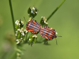 Strimlus - Striped Shield Bug (Graphosoma lineatum)