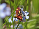 Guldljusmott - Pyrausta aurata (Pyrausta aurata)
