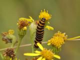 Karminspinnare - Cinnabar moth (Tyria jacobaeae)