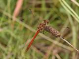 Tegelröd ängstrollslända - Vagrant Darter (Sympetrum vulgatum)