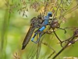 Stubbhårsskuldrad rovfluga - Hornet robberfly (Machimus atricapillus)