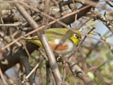 Brunsidig glasögonfågel - Chestnut-flanked White-eye (Zosterops erythropleurus)