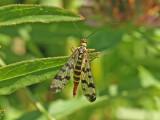 Vanlig skorpionslända - Common Scorpionfly (Panorpa communis)
