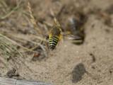 Läppstekel - Digger Wasp (Bembix rostrata)