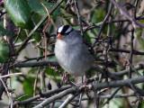 Vitkronad sparv - White-crowned Sparrow (Zonotrichia leucophrys)