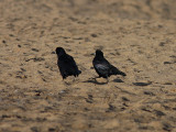 Råka - Rook (Corvus frugilegus)